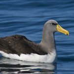 Chatham_island_Albatross2(1)