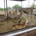 Laisva kuprių ir lamų kaimenė Klaipėdos zoologijos sode