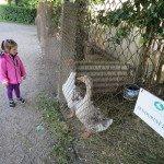 Pažintis su Skudurinėmis žąsimis HBH paukštidėje
