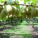 kiwi plantacija