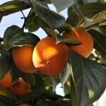 Dar vienas, dažnai regimas vaisius