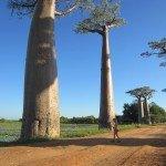 Madagaskare auga 6 baobabų rūšysMadagaskare auga 6 baobabų rūšys