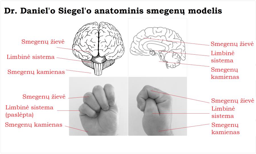 brain hand model_LT
