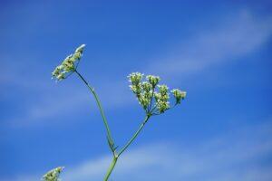 Kokių vaistažolių prisirinkti vasarą, jei auginate vaikus?