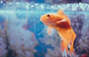 Vaikas paprašė akvariumo žuvytės. Atmintinė prieš perkant